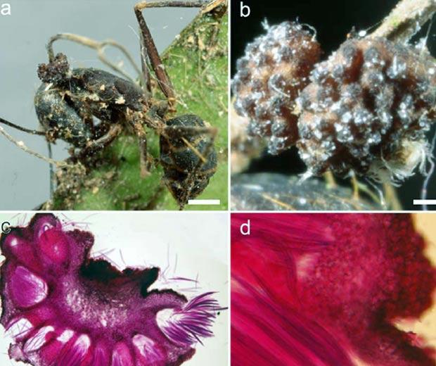 fungo (Foto: Harry Evans e David Hughes/ PLoS One/ Divulgação)