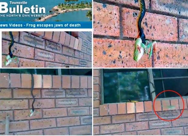 O australiano Norbert Dirie filmou a fuga incrível (veja vídeo) de um sapo em sua propriedade em Kelso, na Austrália. Após ser capturado, o anfíbio conseguiu escapar de virar refeição de uma cobra, segundo reportagem de novembro de 2009 do jornal 'Townsville Bulletin'. (Foto: Reprodução)