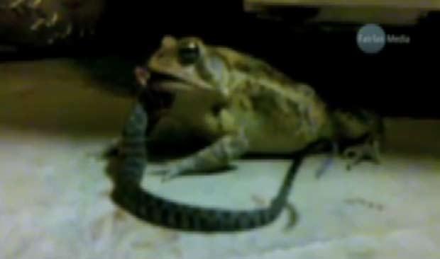 Reprodução de vídeo divulgado em agosto de 2010 pelo jornal australiano 'Sydney Morning Herald' mostra sapo devorando cobra em garagem. (Foto: Reprodução)