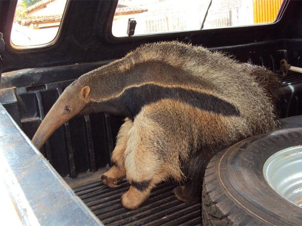 Segundo poícia, animal foi avaliado por veterinário. Ele estava saudável e sem ferimentos. (Foto: Divulgação / Polícia Militar do Meio Ambiente)
