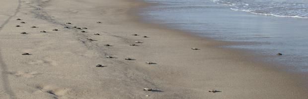 tartaruga mar (Foto: Ibama/PB/Divulgação)