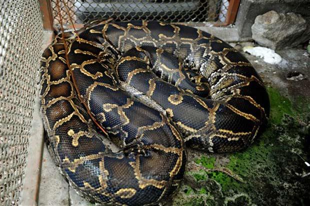 Um costarriquenho mantém uma píton de cerca de cinco metros de comprimento e mais de 80 quilos como animal de estimação. A cobra chamada 'Laika' virou atração turística na cidade de Turrialba, a 65 quilômetros da capital San José. (Foto: Yuri Cortez/AFP)