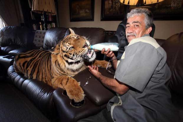 Goosey Fernandez mantém um tigre de 145 quilos como animal de estimação em Joanesburgo, na África do Sul. Ele cuida do animal chamado 'Panjo' desde que ele tinha apenas três semanas de vida. O grande felino é bastante dócil e Fernandez chega dar leite com mamadeira. (Foto: Matthew Tabaccos/Barcroft/Getty Images)
