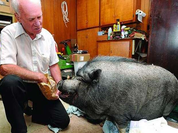 O norte-americano Wilferd Kallhoff, de 78 anos, chegou a ser multado em Mountain Home, no estado do Arkansas (EUA), por manter um porco como animal de estimação. (Foto: Kevin Pieper/Baxter Bulletin/AP)