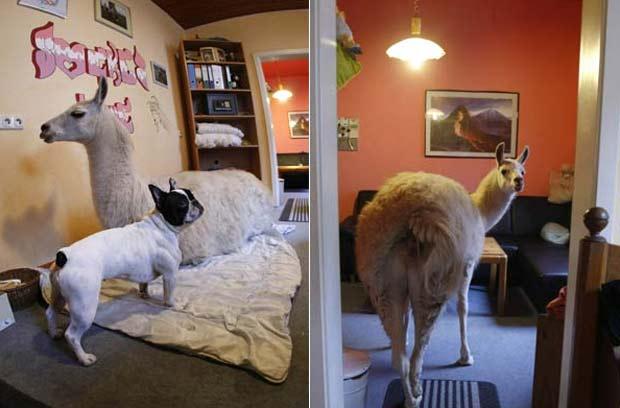 Lhama chamada 'Socke' e o cão 'Big Mac' são fotografados na sala de jantar de uma casa na cidade alemã de Mülheim. 'Socke' vive na residência de sua proprietária, Nicole Döpper, desde o nascimento.  (Foto: Ina Fassbender/Reuters)
