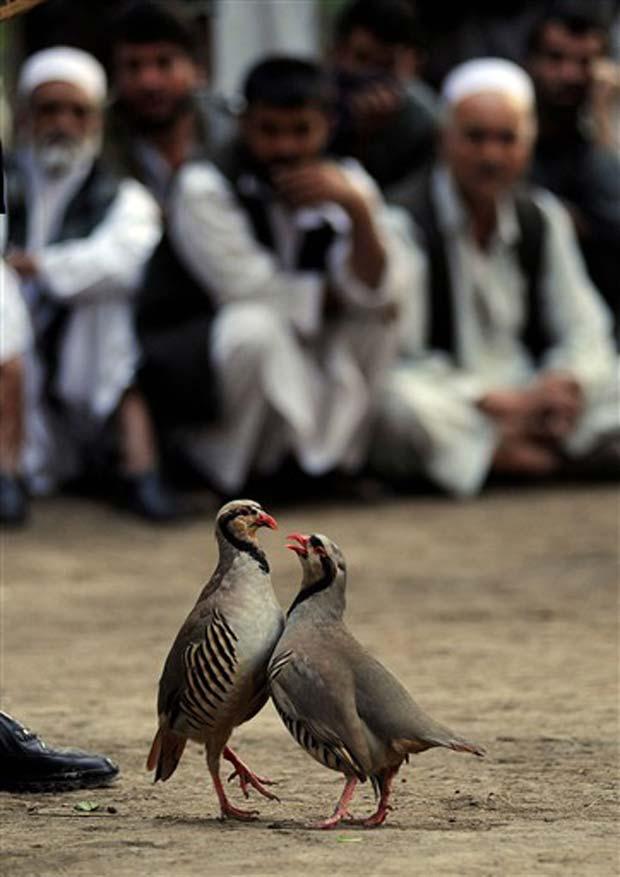 Após ser proibida durante o regime talibã, a briga de perdizes voltou a ser  um passatempo muito popular em Cabul, no Afeganistão. (Foto: Yuri Cortez/AFP)
