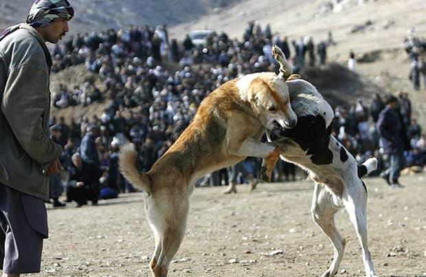Cães disputam briga em Cabul, no Afeganistão. Briga entre cachorros é passatempo popular entre os afegãos durante a época de inverno. Os combates são realizados às sextas. (Foto: Omar Sobhani/Reuters)