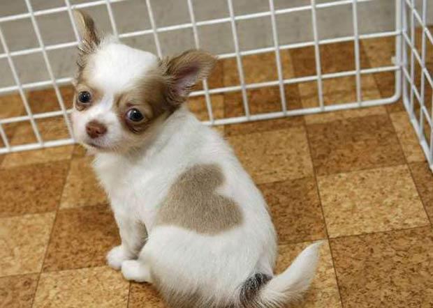 Em maio de 2007, o cão chamado 'Heart-kun' (algo como 'Coraçãozinho', em português), virou celebridade depois que uma emissora de TV japonesa mostrou imagens dele no ar.  (Foto: Reuters)