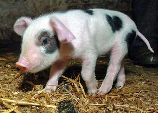 Em 2008, um porquinho apelidado de Valentine chamou atenção em uma fazenda perto de Newent, na Inglaterra, ao nascer com uma mancha em formato de coração. (Foto: AP)