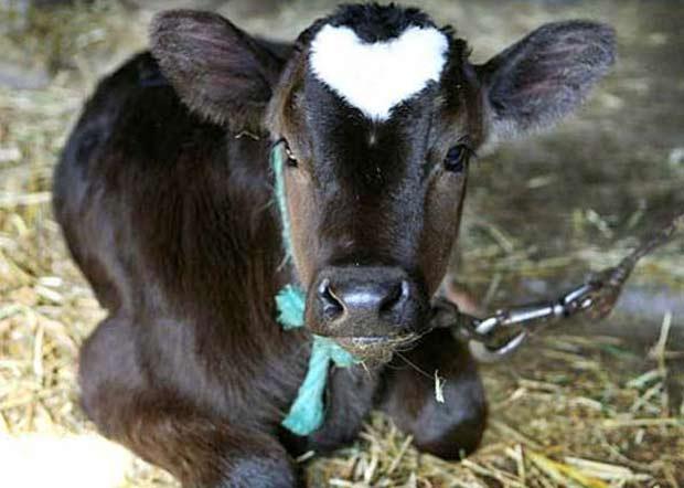 Em fevereiro de 2009, um boi nasceu com a mancha de um coração na cabeça na fazenda Yamakun, em Fujisawa, no Japão. (Foto: Itsuo Inouye/AP)