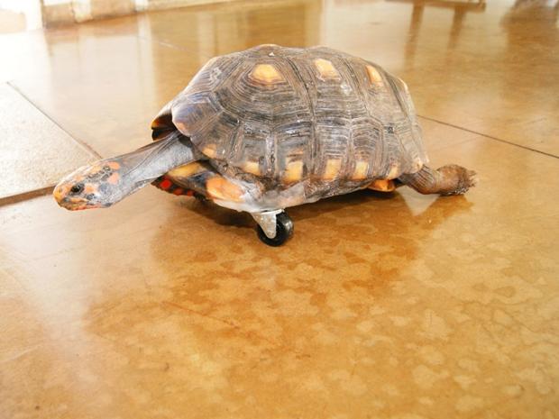 Tartaruga teve pata amputada depois de acidente em cerca elétrica (Foto: Cláudio Yudi)