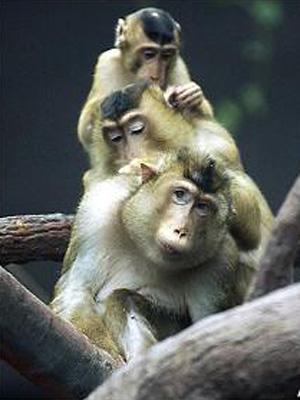 Macaco Alemanha 1 (Foto: AP Photo / via BBC)