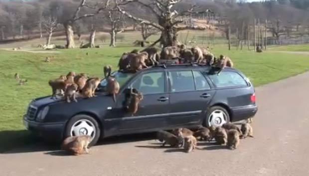 Grupo de macacos atacou Mercedes em um parque safári no Reino Unido. (Foto: Reprodução)