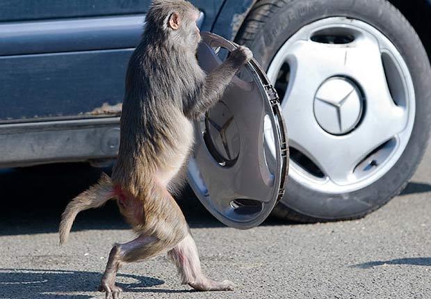 Macaco segura calota arrancada do veículo. (Foto: Reprodução)