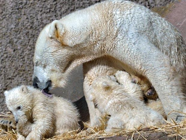 urso polar (Foto: David Ebener/ AFP)