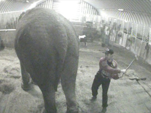 Elefante maus tratos 1 (Foto: Animal Defenders International)