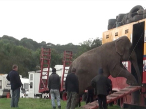 Elefante maus tratos 2 (Foto: Animal Defenders International)