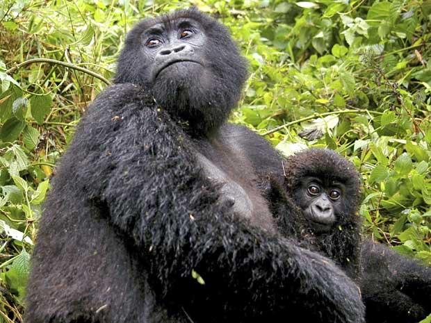 gorila (Foto: Riccardo Gangale/ AP)