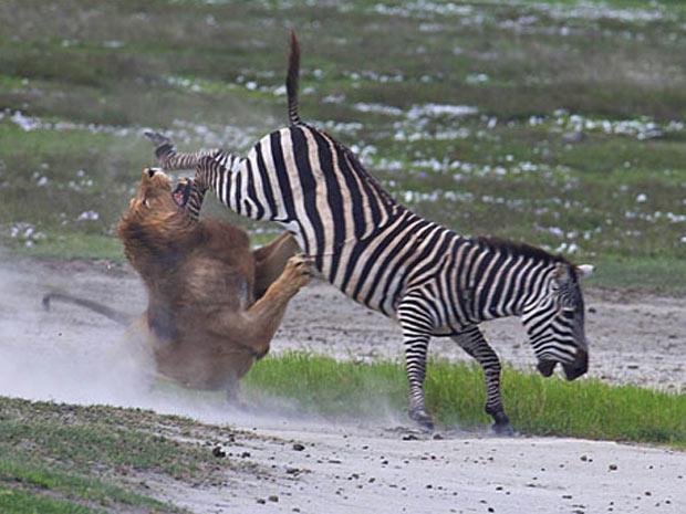 Le  O Recebendo Coice De Zebra Durante Tentativa De Ataque   Foto