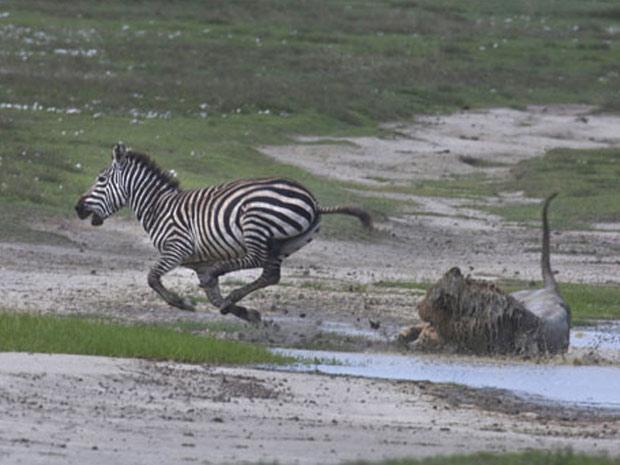 Zebra coice leão 2 (Foto: Thomas Whetten / Caters / via BBC)