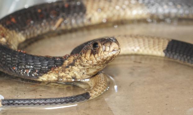 Cobra desaparecida é vista nesta quinta-feira (31) no zoo do Bronx, em Nova York (Foto: AP)