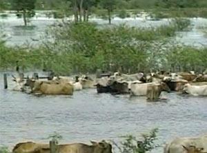 Muito gado já foi perdido na cheia deste ano no Pantanal. (Foto: Reprodução/TV Globo)