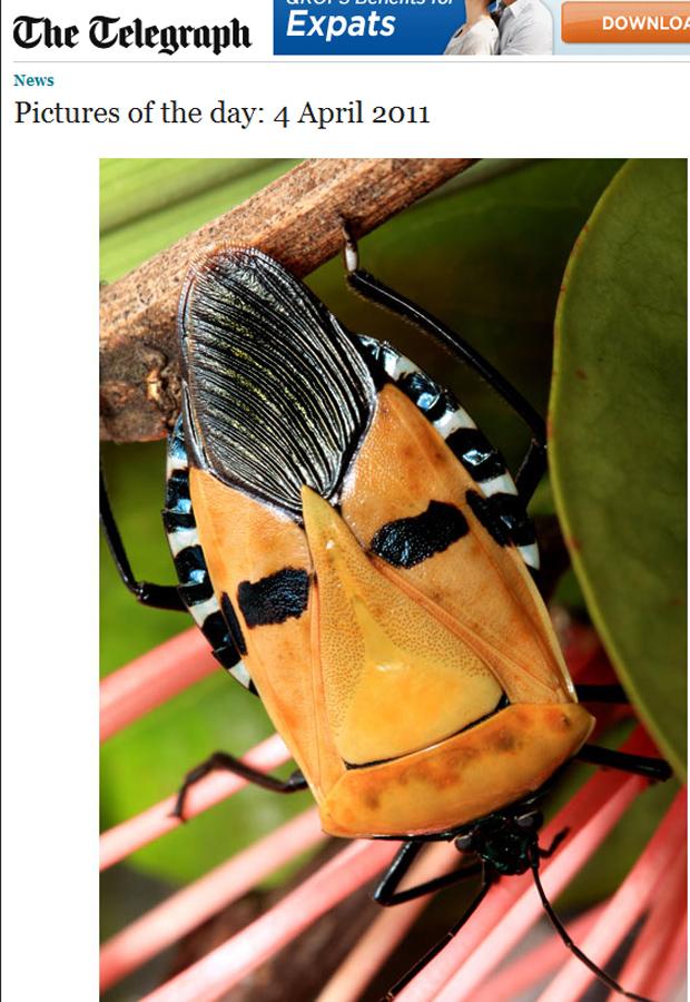 Besouro de floresta do oeste de Cingapura cuja camuflagem lembra a imagem do cantor Elvis Presley. A foto foi feita pelo amador Winston Jansen, que disse nunca ter visto nada parecido antes. (Foto: Reprodução)