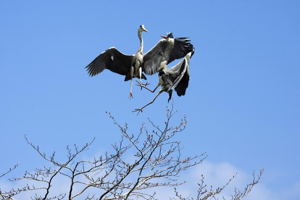 Combate aéreo ocorreu, já que ambas as aves pretendiam construir seu ninho na mesma árvore. (Foto: Marina Cano/Barcroft Media/Getty Images)
