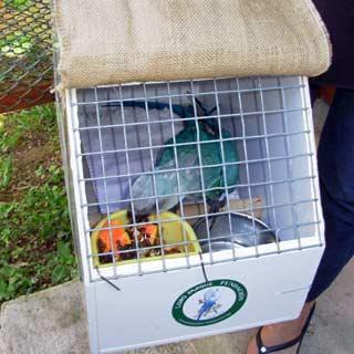 ararinha (Foto: Loro Parque Fundación/ Save Brasil/ Divulgação)