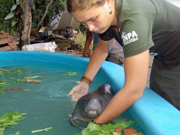 peixe-boi (Foto: Daniel Jordano/ Inpa/ Divulgação)
