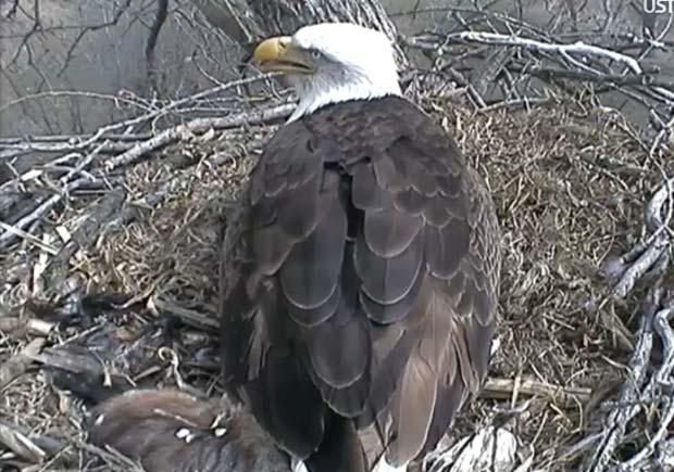 Câmera mostra ninho de águia 24 horas por dia. (Foto: Reprodução)
