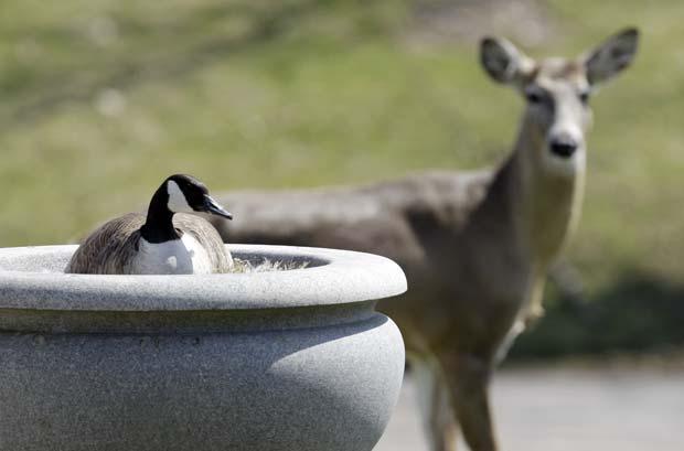 Veado foi flagrado protegendo ninho de gansa em cemitério em Buffalo. (Foto: David Duprey/AP)