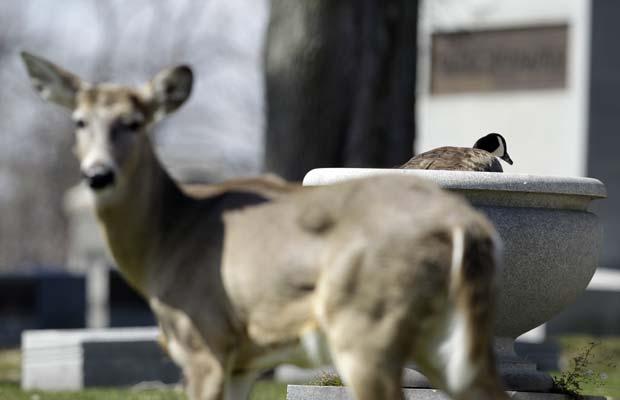Veado protege ave de ataques de possíveis predadores. (Foto: David Duprey/AP)