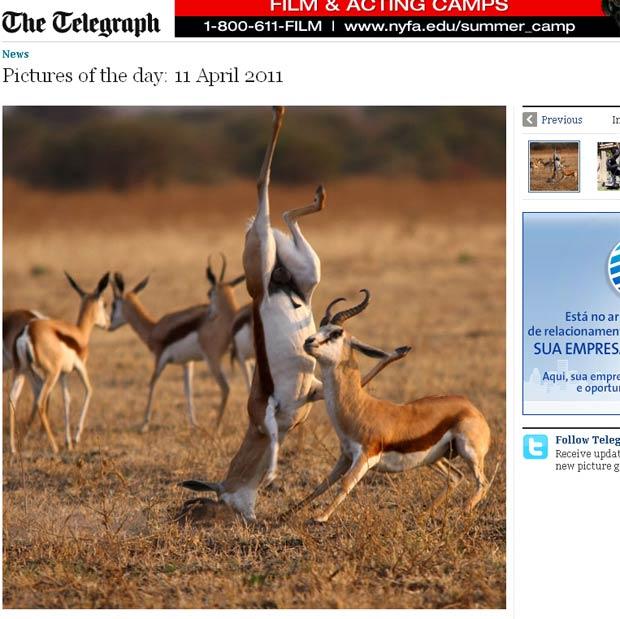 Cabra-de-leque sofreu tombo espetacular durante briga. (Foto: Reprodução/Daily Telegraph)