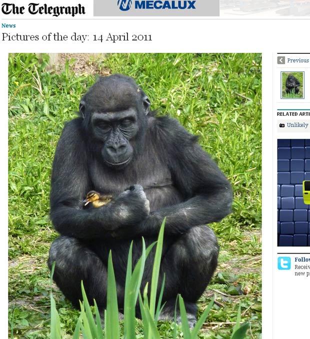 Gorila faz carinhos em patinho perdido. (Foto: Reprodução/Daily Telegraph)