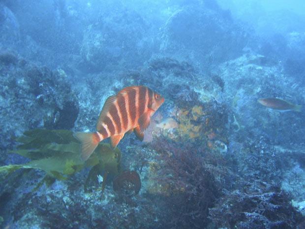 Peixe-bobo 1 (Foto: Edward Forbes / Universidade da Tasmânia / via Reuters)