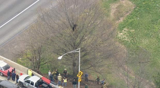 Urso ficou  preso em uma árvore a seis metros de altura. (Foto: Reprodução/Fox News)