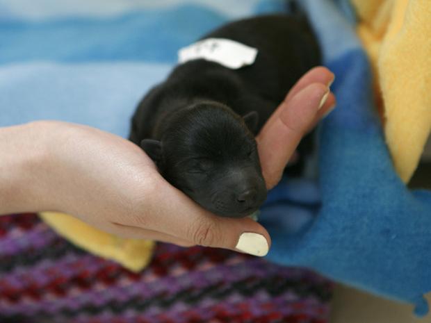 Voluntário segura cãozinho que nasceu após mãe ter sido resgatada de um caminhão, em hospital veterinário de Pequim, na China; Associação de Proteção Animal conseguiu bloquear, no domingo (17), veículo com 500 animais que seriam abatidos para consumo huma (Foto: AP) (Foto: AP)