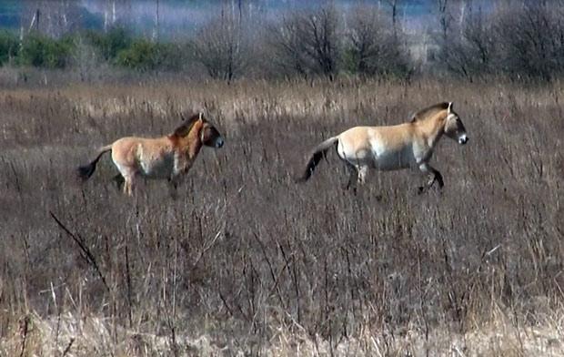 Cavalos selvagens galopam pela zona de exclusão de Chernobyl. (Foto: Dennis Barbosa/G1)
