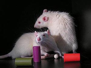 Ratos usados na pesquisa receberam brinquedos coloridos para ficar acordados até mais tarde  (Foto: Giulio Tononi/University of Wisconsin-Madison)