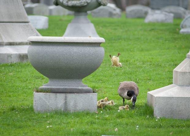 Filhote salta de urna onde ficava o ninho. (Foto: Michael Mandolfo/AP)