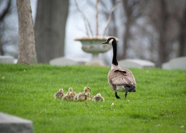 Gansa com sua ninhada no cemitério em Buffalo. (Foto: Michael Mandolfo/AP)