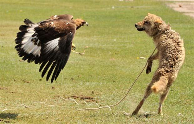 Águia ataca logo durante festival. (Foto: Vyacheslav Oseledko/AFP)