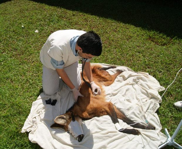 Lobo-guará recebe atendimento veterinário em Uberaba. (Foto: Claudio Yudi/Divulgação)