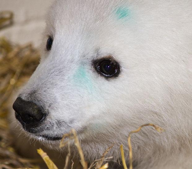 Segundo informações do zoológico, o animal deve permanecer sob os cuidados dos tratadores até que seja encontrado um novo lar para ele (Foto: AP Photo/Alaska Zoo)