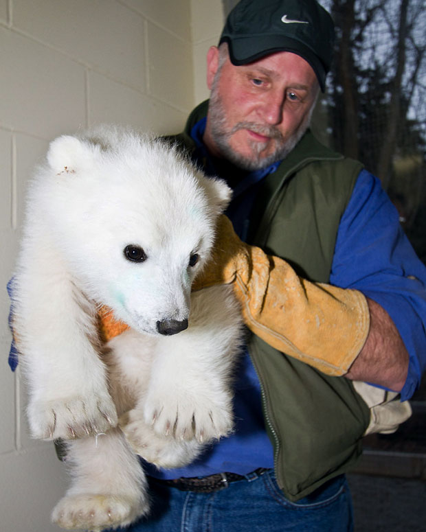 Um filhote fêmea de urso polar com idade estimada em pelo menos quatro meses foi encontrado perambulando pelo campo de petróleo de Alpine, no Alasca, na semana passada. Ela foi levada ao zoológico da cidade de Anchorage. Em foto divulgada nesta quarta-feira (4), o diretor do Alaska Zoo, Pat Lampi, aparece segurando o filhote (Foto: AP Photo/Alaska Zoo)
