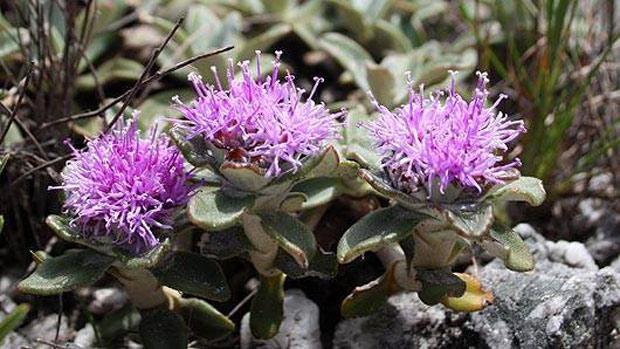 Lychnophora humillima nunca mais havia sido estudada depois do século XIX. (Foto: Divulgação)