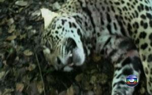 Matança de onças chocam ambientalistas (Foto: Reprodução/TVMorena)