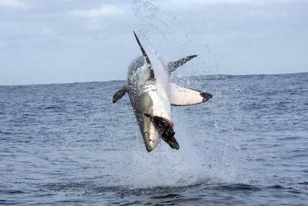 Tubarão branco saltou quase 4 metros de altura para capturar foca de brinquedo. (Foto:  Barcroft Media/Getty Images)