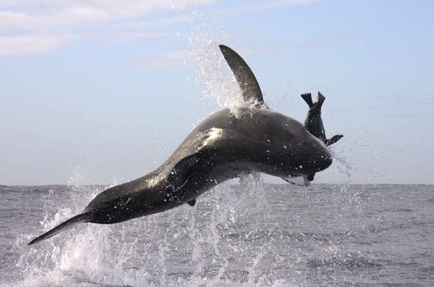 Poder de caça do tubarão branco foi registrado pelo fotógrafo Michael Rutzen. (Foto: Barcroft Media/Getty Images)